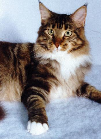 Best Maine Coon Wallpapers